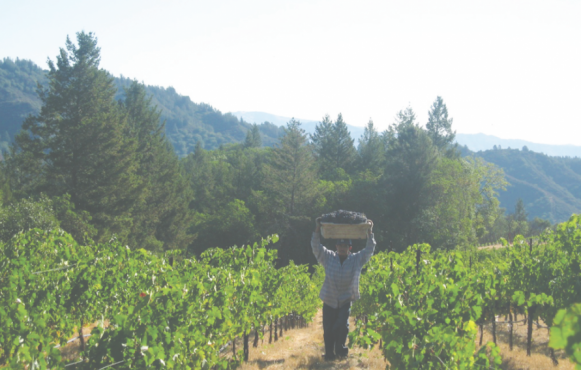 Harvest at Mount Veeder, Vineyards of Foyt Family Wine.